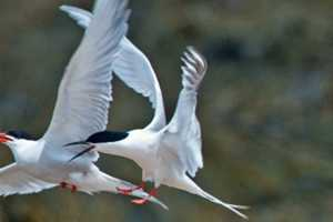 Roseate tern - THREATENED