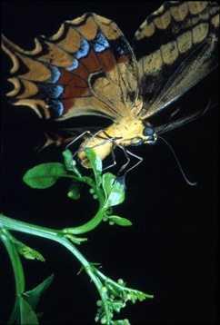 Schaus swallowtail butterfly - ENDANGERED