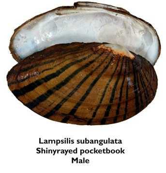Shinyrayed pocketbook - ENDANGEREDNot pictured in this slideshow:Choctaw bean - ENDANGEREDOchlockonee moccasinshell - ENDANGEREDFuzzy pigtoe - THREATENEDNarrow pigtoe - THREATENEDTapered pigtoe - THREATENEDReticulated flatwoods salamander - ENDANGEREDSouthern sandshell - THREATENEDSquirrel chimney cave shrimp - THREATENEDChipola slabshell - THREATENED