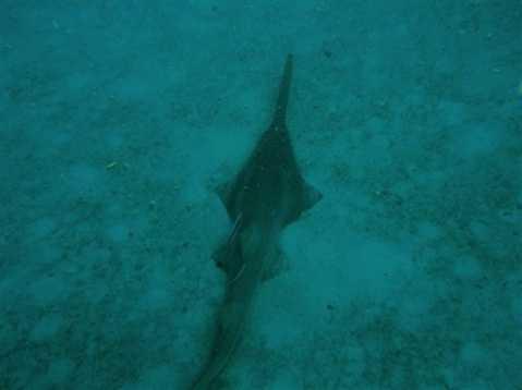 Smalltooth sawfish - ENDANGERED