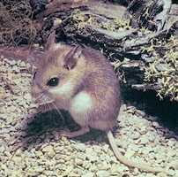 Southeastern beach mouse - THREATENED