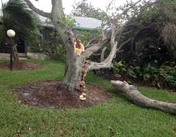 This big tree fell hard in Jupiter. (Photo: Angela Rozier/WPBF)
