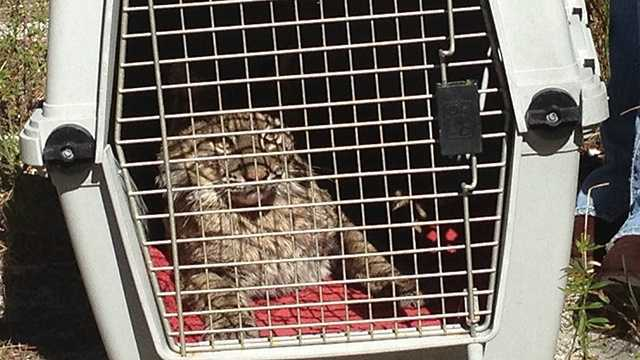 This bobcat was released back into the wild on Thursday, four days after being hit by a car. (Photo: Angela Rozier/WPBF)