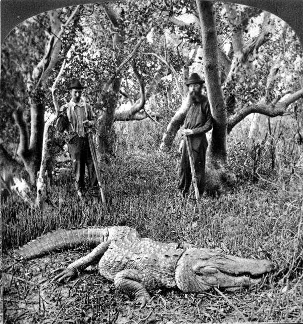 An alligator was captured in a mangrove swamp in south Florida by two hunters in 1882.