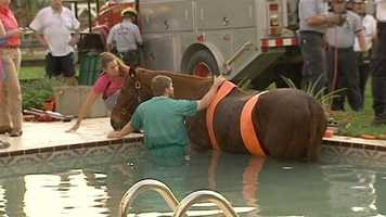 Veterinarians comfort Andy, a 30-year-old horse that jumped a fence on a Loxahatchee farm and ended up in a swimming pool.