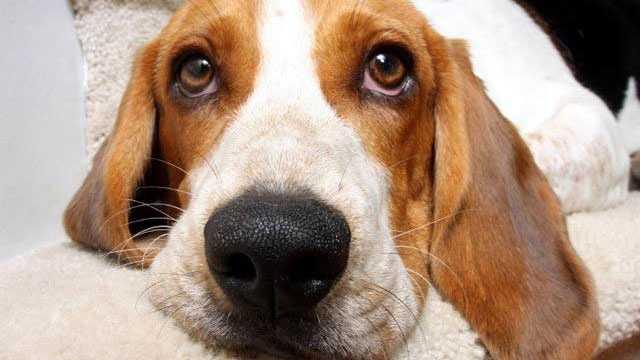 Dog Breeds - Beagles