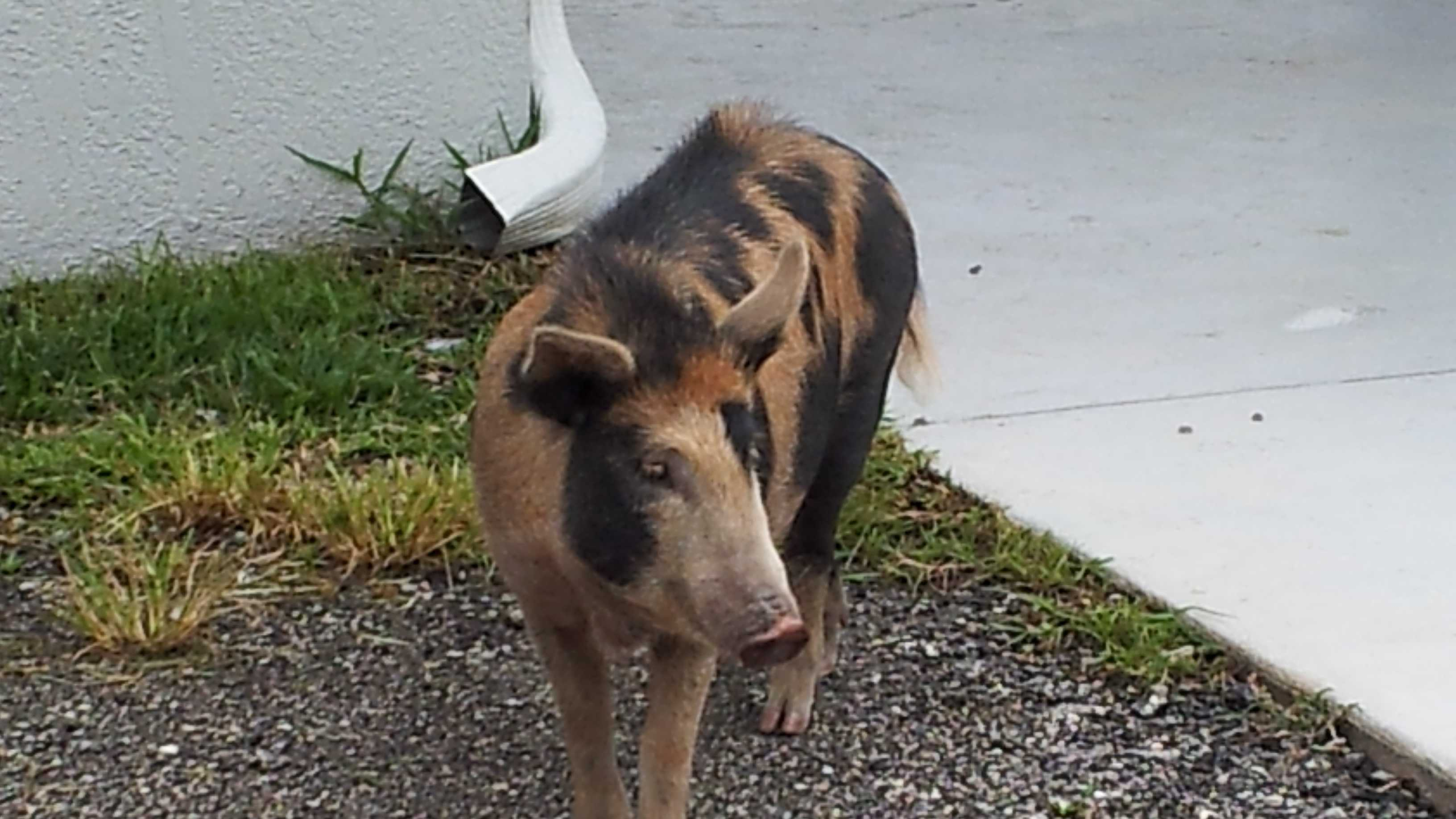 Kenneth Godfrey's pet pig, Pearl, was shot and killed in December 2012.