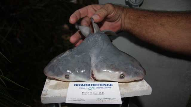 This two-headed bull shark fetus was discovered in the Gulf of Mexico near Key West in 2011.