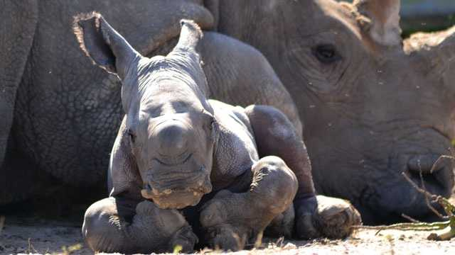 Anna the white rhinoceros was born Saturday at Lion Country Safari.