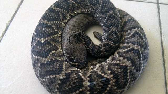 An Eastern Diamondback rattlesnake like this one pictured is believed to be responsible for the death of a Hobe Sound man.