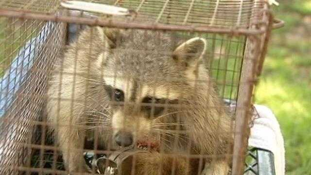 A raccoon that was found caught in a trap had to have its paw amputated.