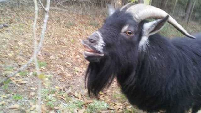 A Florida man has listed this goat for rent on Craigslist for $5 a day.
