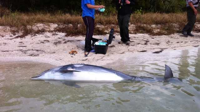 NOAA investigators are trying to determine why so many bottlenose dolphins are winding up dead along the Treasure Coast and Brevard County.