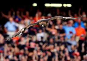 War Eagle is the battle cry of Auburn fans. Since 1930, Auburn has kept an actual eagle as a flying mascot during football games.