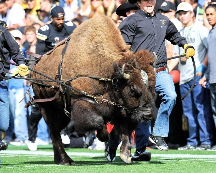 The tradition of Ralphie running around in a loop on Colorado's Folsom Field started in 1967. Ralphie V took the field with the Buffaloes for the first time in 2008.