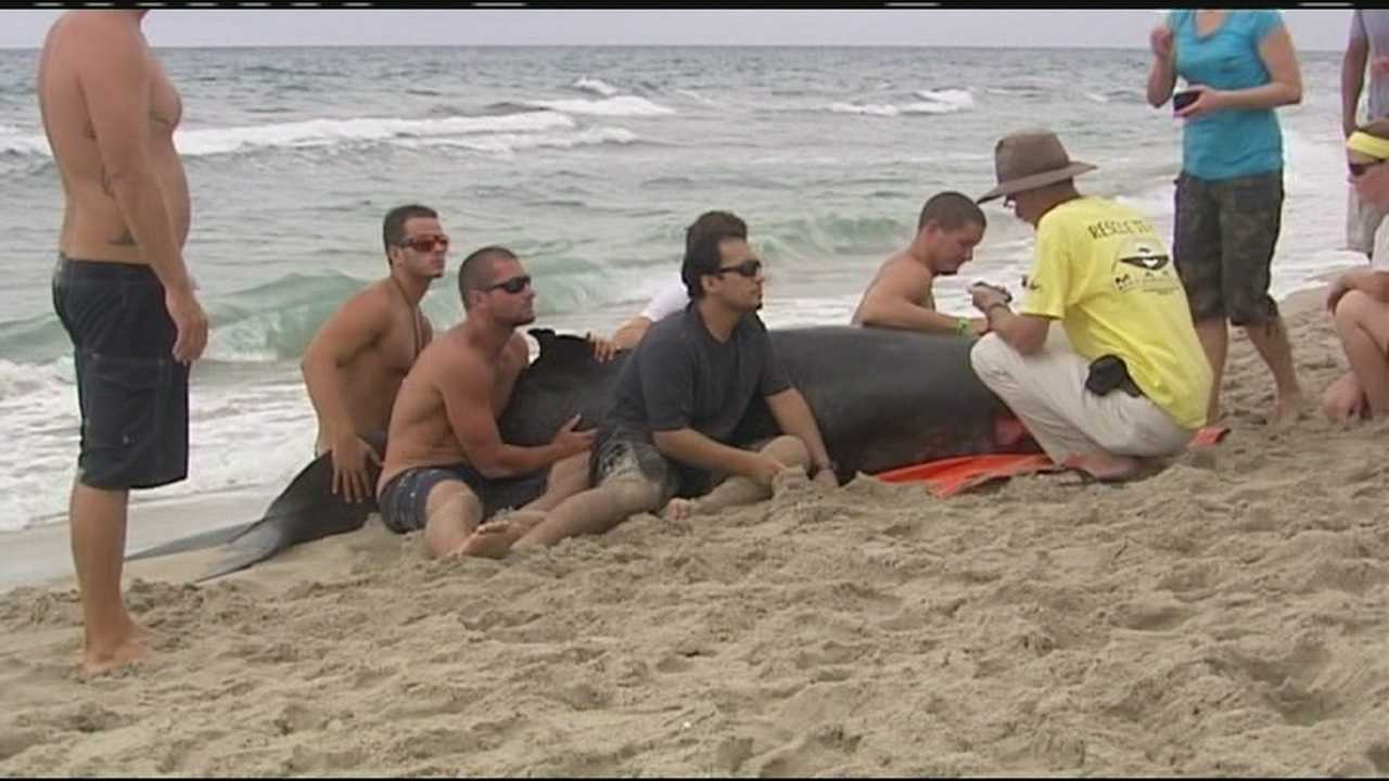 A beached whale has to be euthanized, and a necropsy will be performed to determine why the whale came ashore in Delray Beach.