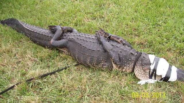 This alligator was caught at Lake Wyman Park in Boca Raton.