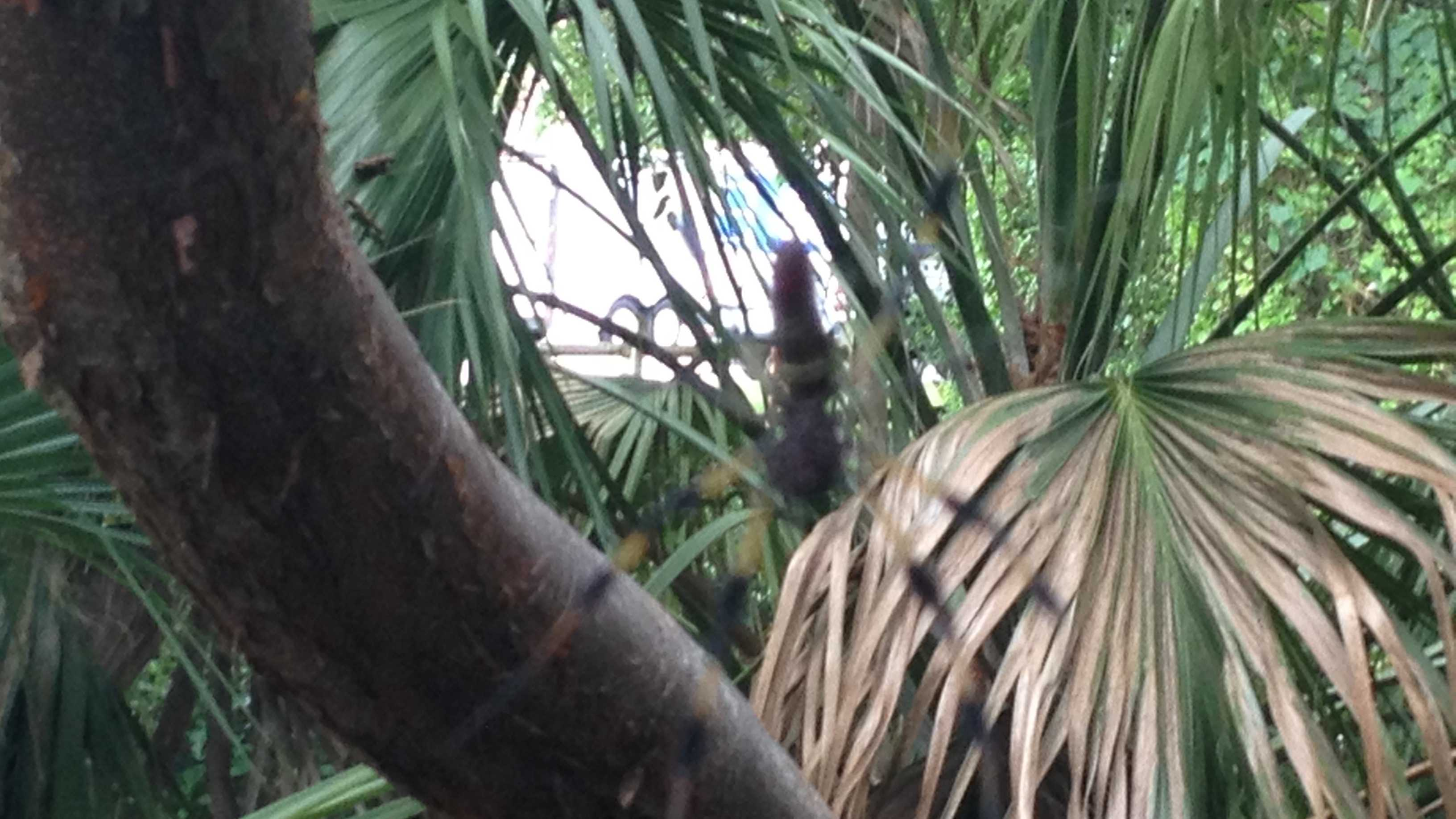 Look out above. It's banana spider season in South Florida.