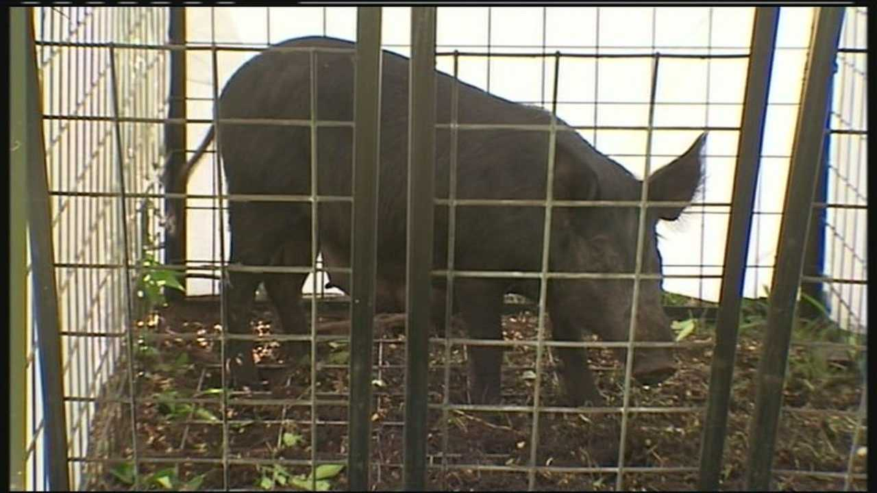 img-Wild boars loose in Wellington
