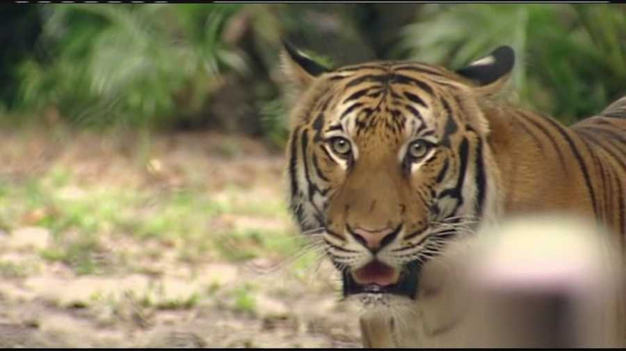 Tiger brothers Jaya, Bunga and Penari will soon be leaving the Palm Beach Zoo for Jacksonville.