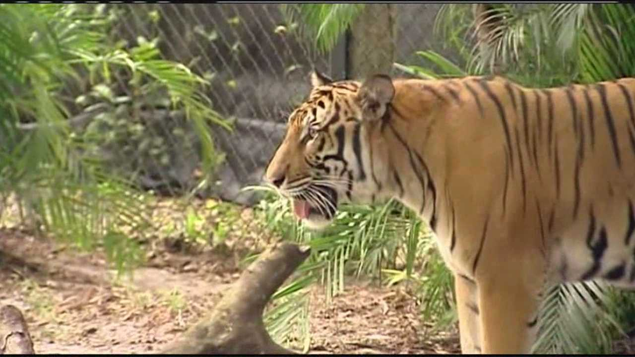 The tigers, who were born at the Palm Beach Zoo in 2011, are headed to the Jacksonville Zoo to begin the next chapter of their lives.