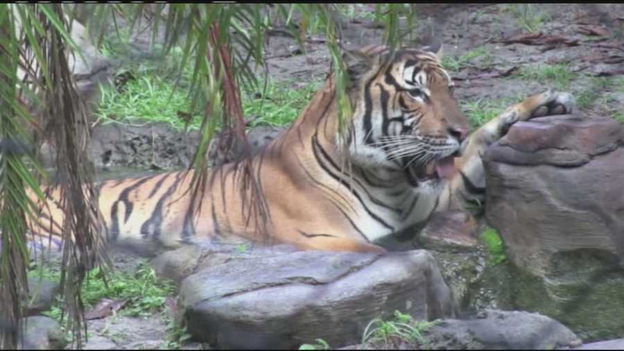 """Their mother, Berapi, will remain at the Palm Beach Zoo. Her children will become stars of the """"Land of the Tiger"""" attraction in Jacksonville when it opens in March."""