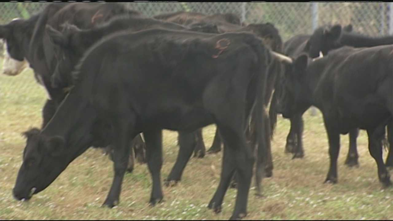 Nearly two dozen cows are removed from a Jupiter Farms property by Palm Beach County Animal Care and Control.