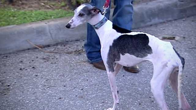 Angel, an adult whippet so malnourised that she was on death's doorstep just weeks ago, is getting healthier every day, and just went home with her new owner on Friday.