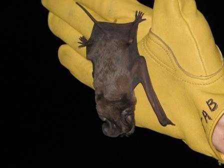 Florida bonneted bat - ENDANGERED