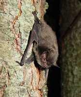 Indiana bat - ENDANGERED