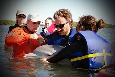 Biologists helped rescue a mother dolphin and her calf after they got caught in fishing gear in the Indian River Lagoon near Vero Beach on Monday. (All photos provided by the Hubbs Sea World Research Institute)