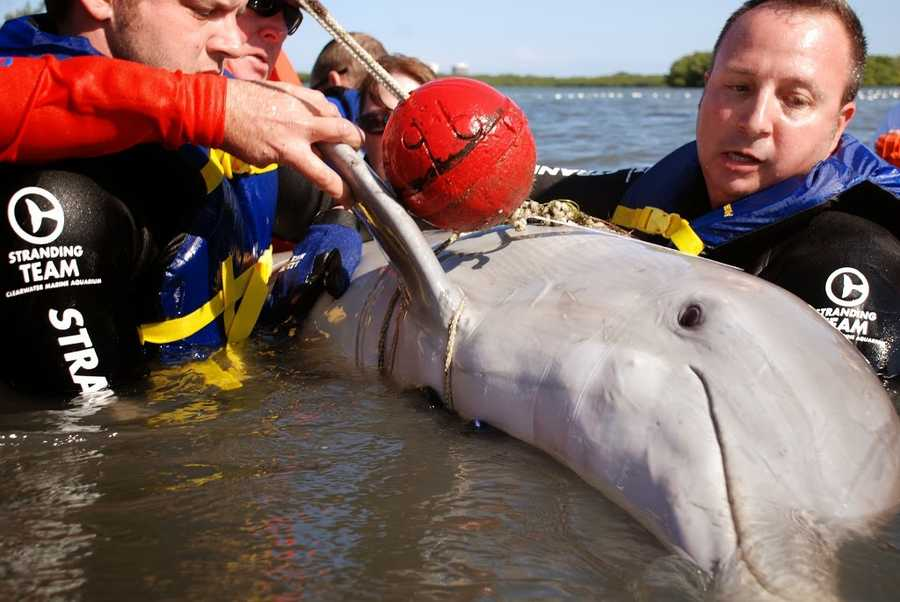 Then they got all the fishing gear off of the two dolphins. (All photos provided by the Hubbs Sea World Research Institute)