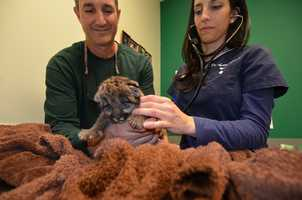 The cub was found at the Florida Panther National Wildlife Refuge in Collier County last month.