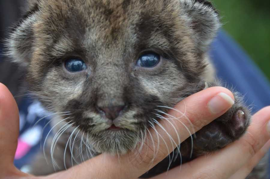 Because the kitten was so young at the time of rescue, he will not learn survival skills from his mother and therefore cannot be released into the wild.