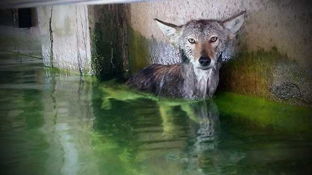 This coyote was rescued from the Intracoastal Waterway after a homeowner chased it off its property near Singer Island.