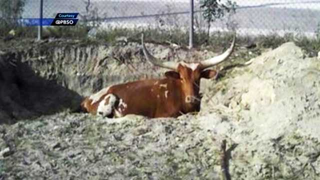 A week after a sleeping bull was shot in Loxahatchee and ultimately had to be euthanized, it's still not known who's responsible for the crime.