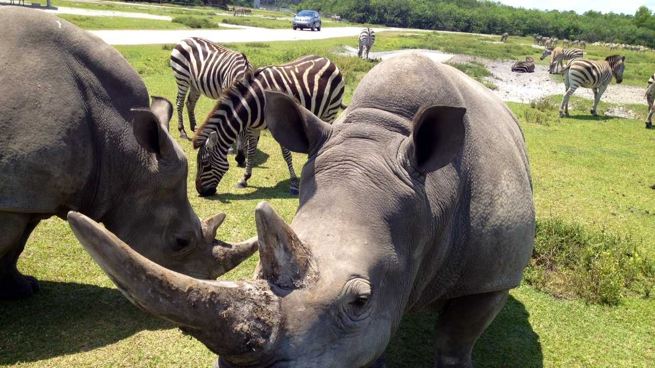 APRIL 28: Lissa, a rhino at Lion Country Safari, recently underwent surgery to remove a cancerous tumor from her horn.