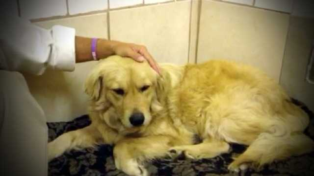 A golden retriever in California was set to be euthanized after he was found growling at police at while laying next to his owner who was murdered. Police labeled him aggressive and unable to be adopted. Tri County Animal Rescue in Boca Raton have stepped in and brought Jake here to help get him adopted. They say he should be available for adoption next week.
