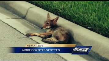 Sadly the coyote didn't live.