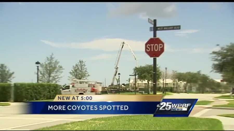 This is the area where the coyote was hit. Wildlife officials caution drivers to be on the lookout for baby coyotes.