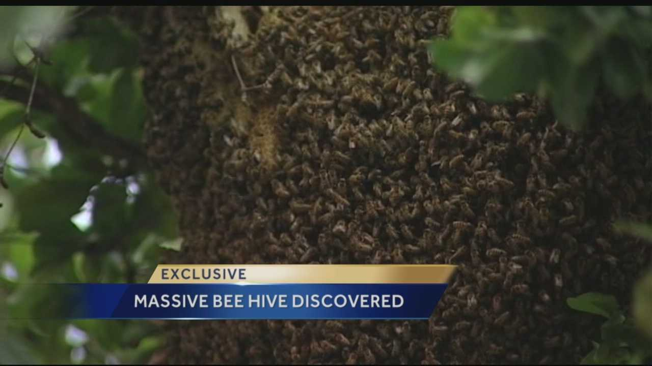 Several people noticed a massive beehive hanging from a tree in downtown West Palm Beach on Wednesday morning. It's above the sidewalk in the 300 block of Datura Street. Reporter Ted White has the story.