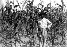 African American farmer standing in a corn field in Alachua County on June 25, 1913.