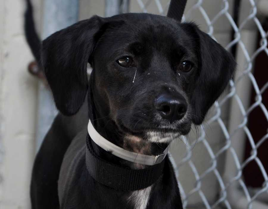 Sarge (ID#1762442) – Needs 10-14 day foster for kennel cough (dog cold) – All supplies included!Anyone interested in fostering, rescuing or adopting any of these animals, can contact Kelly Diegert at 561-233-1219 or Tammy Roberts at 561-233-1281. Please reference animal ID#.