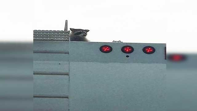 Raccoon on top of a garbage truck while turning onto I 95.