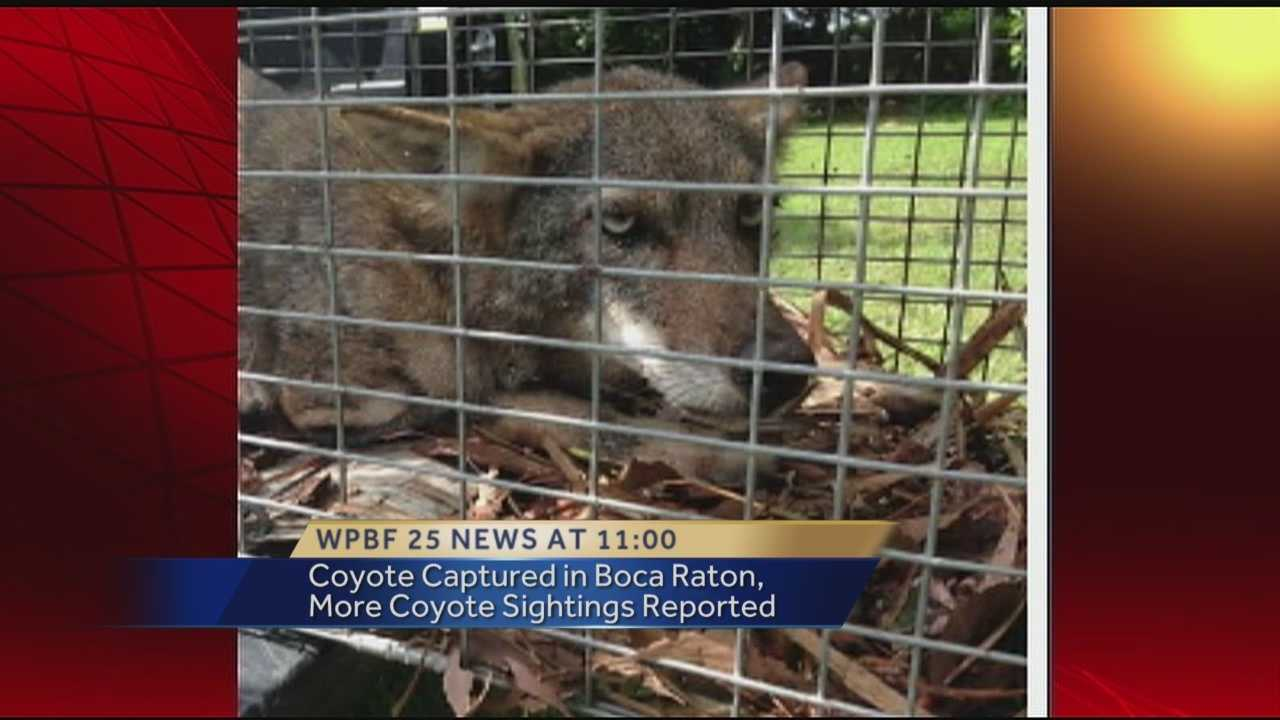 A coyote suspected of attacking dogs within a Boca Raton community was trapped and euthanized Sunday. According to Animal Care and Control spokesman Capt. Dave Walesky, the coyote was being fed by people in the neighborhood and had to be killed as a result.