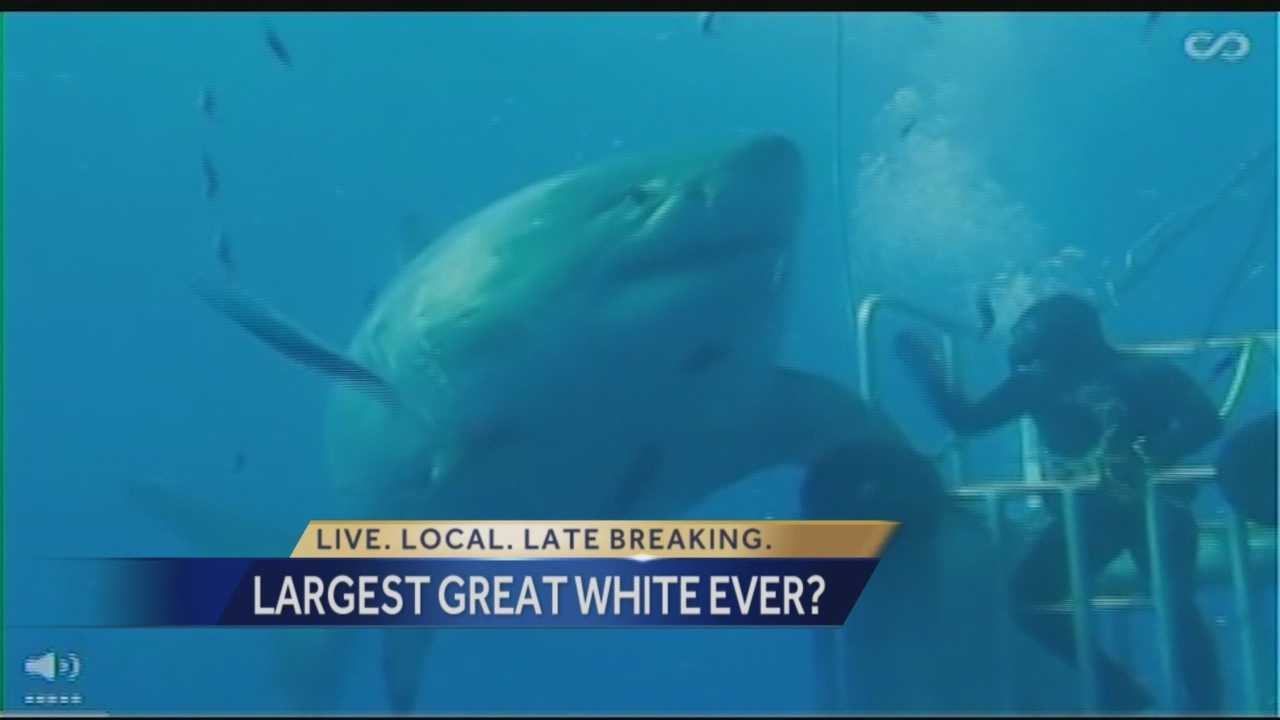 "Real life ""Jaws"" may be roaming the waters off Mexico. Researchers say the massive great white shark may be the largest ever captured on video!"