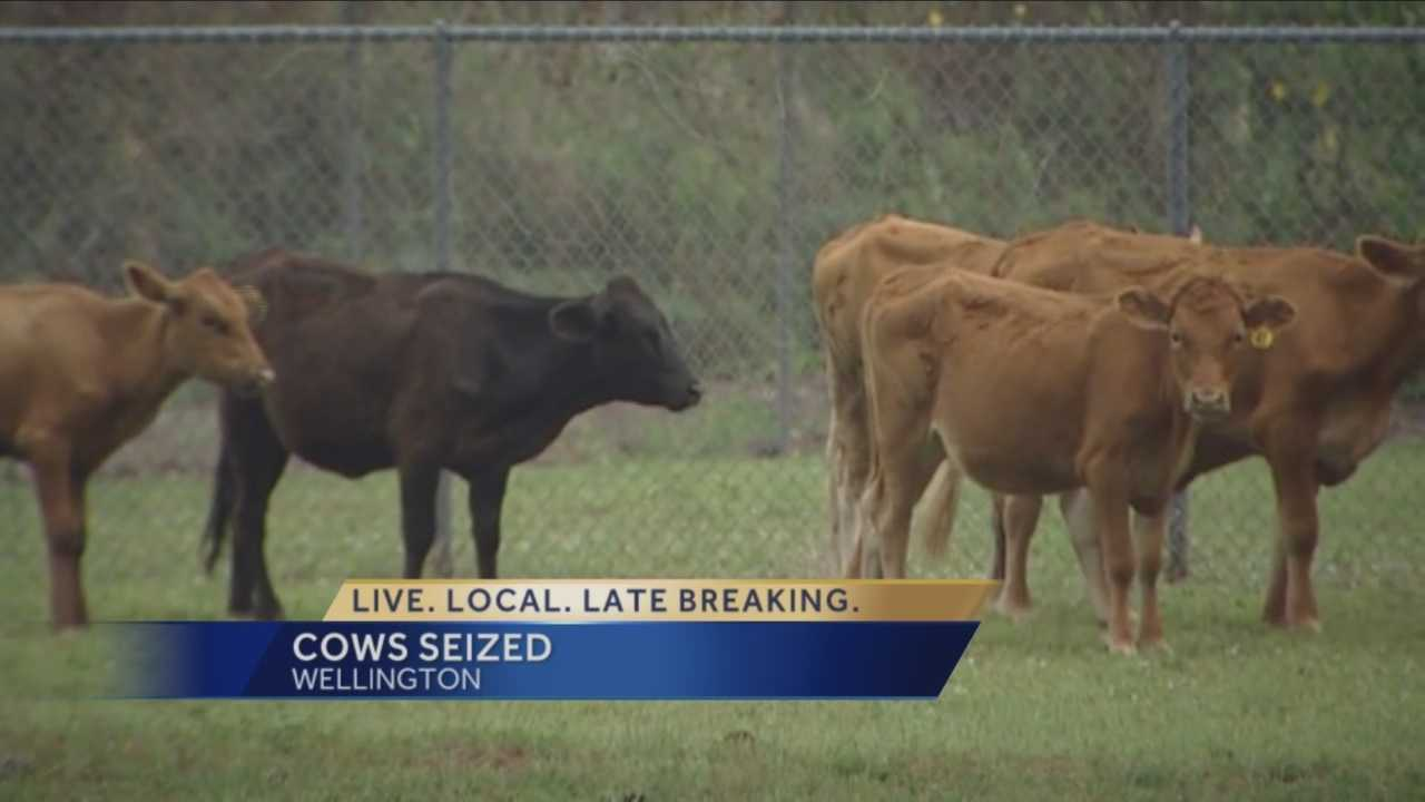 15 cows were seized by Animal Care and Control Friday from a Wellington farm. Terri Parker reports.