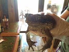 "A marine toad named ""Moose."" She's 13 years old."