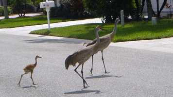 Sandhill cranes crossing!