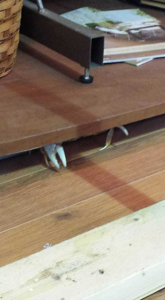 Crab hiding under my desk!